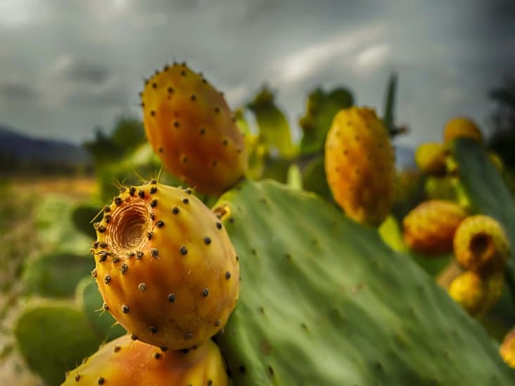 Cactus Fruit How To Cut Health Benefits Tips And Risks Cactusway